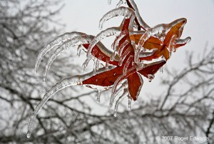 sweetgum ice pic